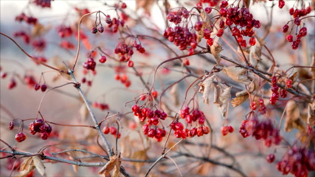 dried viburnum berries on swinging branches video