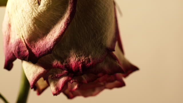 Dried withered rose flower on wall background