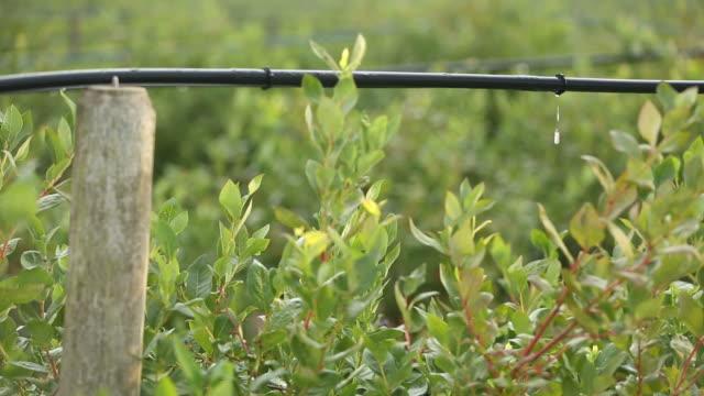 Drip Irrigation Blueberry Field video