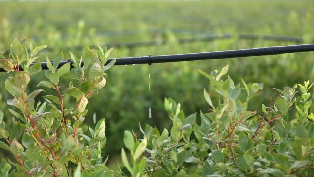tropfbewässerung system, blaubeer-pflanzen - bewässerungsanlage stock-videos und b-roll-filmmaterial