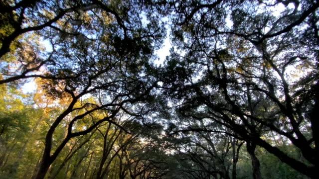 vidéos et rushes de conduire sur une route bordée de chênes vivants à savannah en géorgie - plantation
