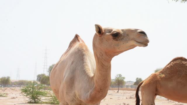 stockvideo's en b-roll-footage met een dromedary camel (camelus dromedarius) hoofd geschoten in woestijn zandduinen van de verenigde arabische emiraten (vae) close-up. - eén dier