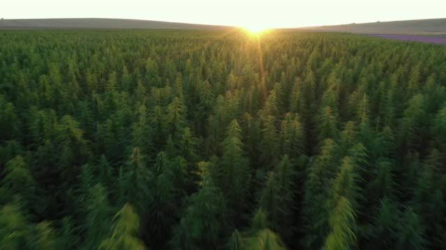 dron video på hampa fält vid solnedgången. - sociala frågor bildbanksvideor och videomaterial från bakom kulisserna