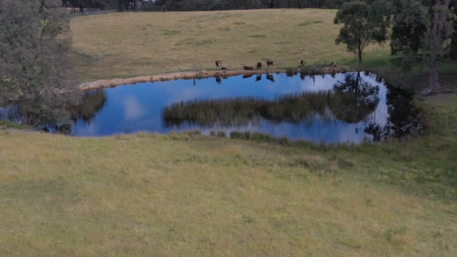 Drone aerial footage of cows at a watering hole in a grassy field in regional Australia video