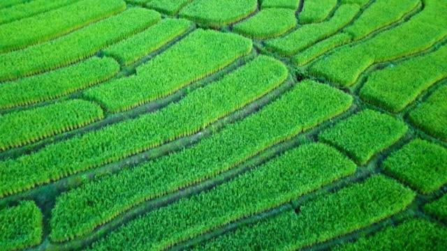 drone aerial view : beautiful landscape view of rice terraces - longji tetian filmów i materiałów b-roll