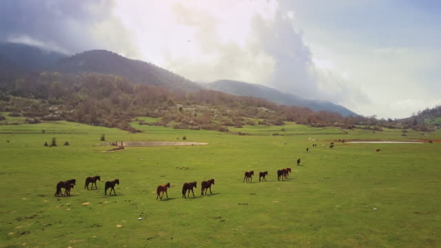 Drone aerial view of Italian landscapes: wild horses in a field video