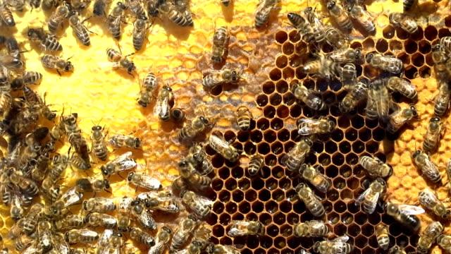 drone bees inside a beehive - ape operaia video stock e b–roll
