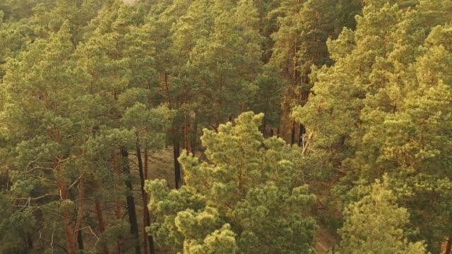 bahar misty yeşilçam kozalaklı orman yukarıda drone uçuş. i̇lkbaharda gün batımı sırasında manzara yeşilçam kozalaklı orman havadan görünümü. tutumdan en i̇yi görünüm. orman üstü güneş - full hd format stok videoları ve detay görüntü çekimi