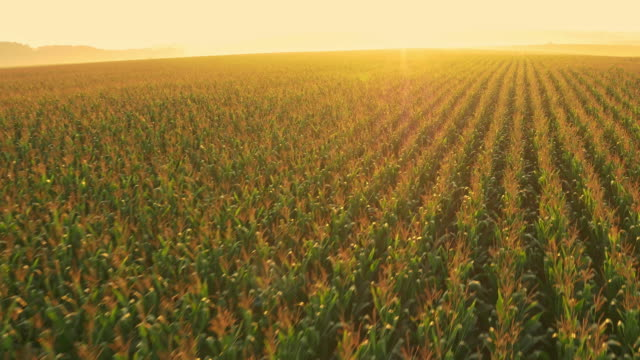 AERIAL Drone flying above corn field at sunrise video
