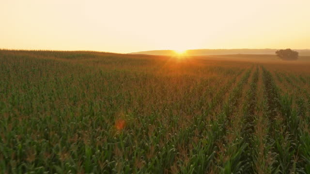 AERIAL Drone flying above field of corn at sunrise video