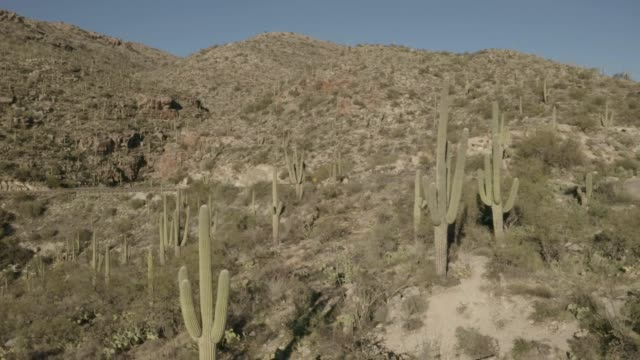 Drone flying backwards through a forest of saguaro cacti in mountainous terrain on Mt Lemmon