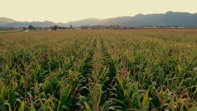 drone flying directly above the corn field - tilt down stock videos & royalty-free footage