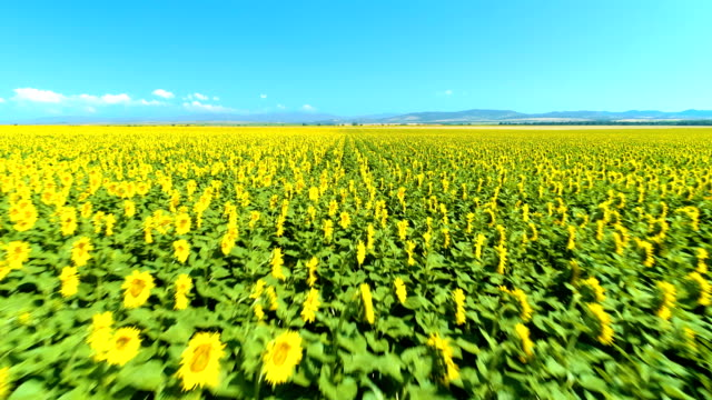 Drone flying low over sunflower field amazing aerial view