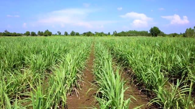 drone flying low shot over sugarcane farm asia thailand - сахарный тростник стоковые видео и кадры b-roll