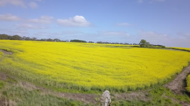 Drone flying over a beautiful field of yellow flowers Aerial footage of a drone flying down very close to a field of yellow flowers as the wave in the wind in Australia. 天の川 stock videos & royalty-free footage
