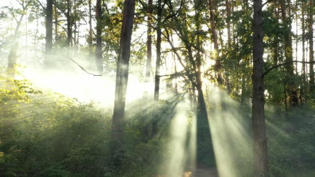 un drone che vola su una foresta offuscata d'estate la mattina presto. i raggi del sole tagliano la nebbia. - muschio flora video stock e b–roll