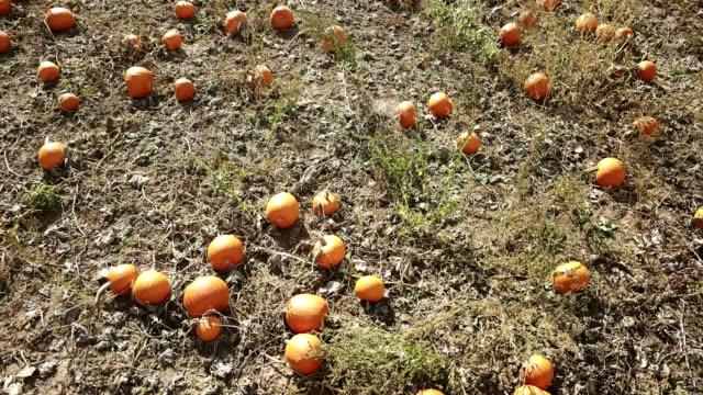 drone flying over autumn harvest of pumpkins - pumpkin стоковые видео и кадры b-roll
