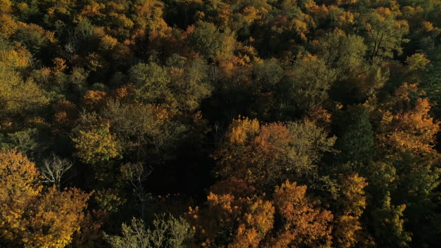 Drone Flying Over Forest Tree Canopy of Autumn Colors in Fall Season video