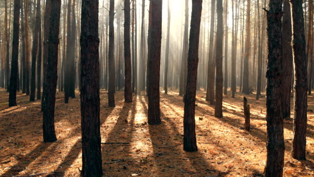 drone flying through beautiful pine forest in morning. sun rays shining through early mist. - trees in mist stock videos & royalty-free footage