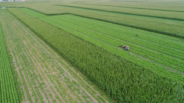drone flyover the maize and chinese cabbage field - crucifere brassicali video stock e b–roll