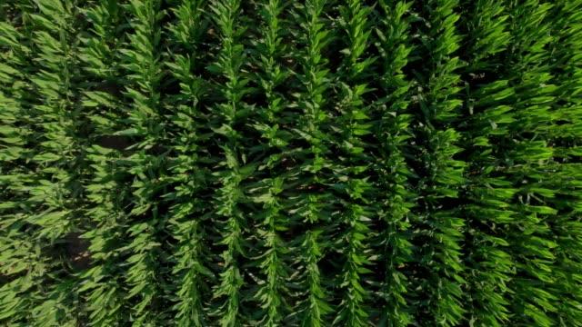drone footage from a maize at summertime in spain - kukurydza zea filmów i materiałów b-roll