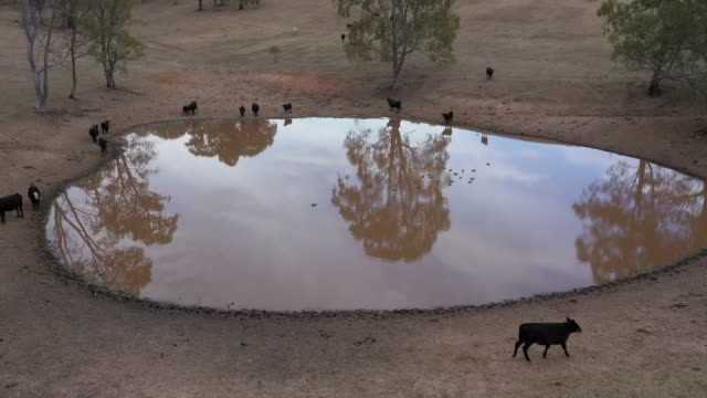 Drone footage of cows and ducks on an agricultural dam in rural Australia video