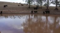 istock Drone footage of cows and ducks on an agricultural dam in rural Australia 1219495084