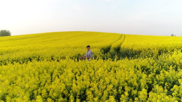 drone point of view farmer in vast,sunny,idyllic,rural yellow canola field - canola video stock e b–roll