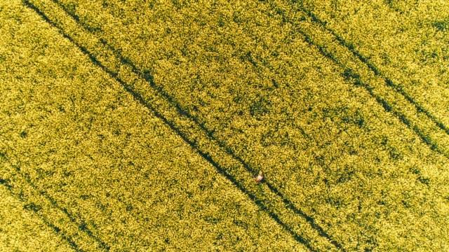 drone punto di vista agricoltore che cammina in rurale, campo di canola gialla, tempo reale - canola video stock e b–roll