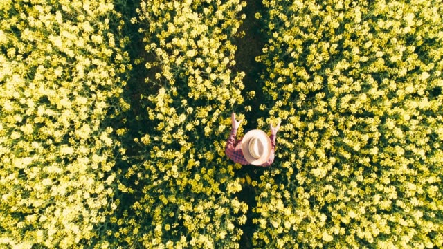 Drone point of view farmer walking in sunny rural yellow canola field,real time
