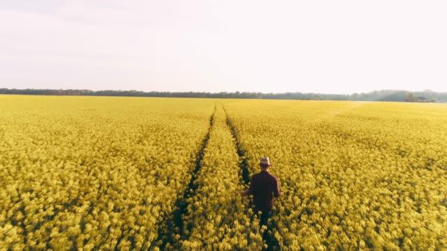 vídeos de stock, filmes e b-roll de agricultor de ponto de vista de drone caminhando em campo vasto, idílica, ensolarado rural canola amarelo, tempo real - estilo de vida dos abastados