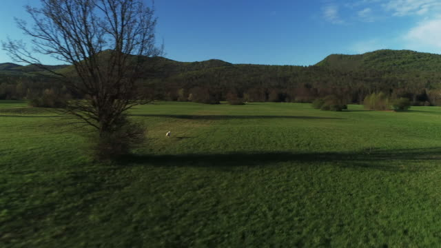vídeos de stock e filmes b-roll de drone point of view on a white dog running freely on a large meadow - fugir