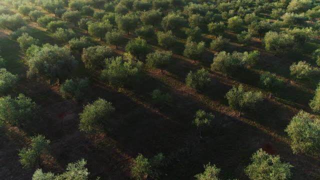 vidéos et rushes de drone point de vue sur le verger d'olive le matin - olivier