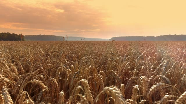 Drone point of view vast,idyllic golden wheat crop.