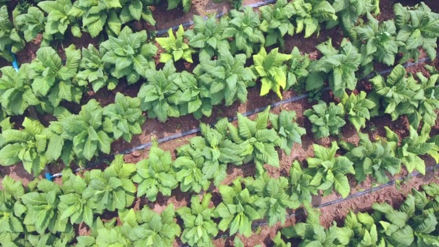 drone shot : fly over tobacco leaves with an irrigation pipe laying in field - nicotina video stock e b–roll