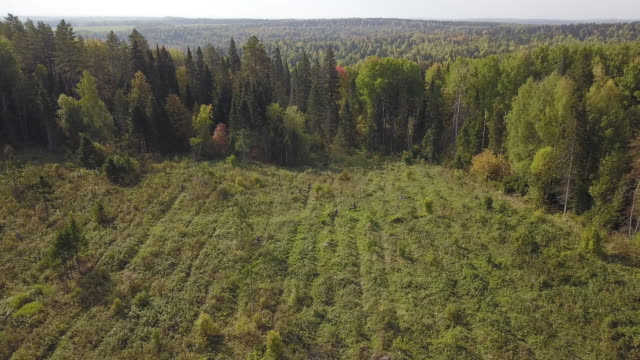 Drone shot of Bushes and weeds is getting sawn by worker with a gasoline saw in forest. Thinning young seedlings of pine and spruce. Planting of seedlings after deforestation. video