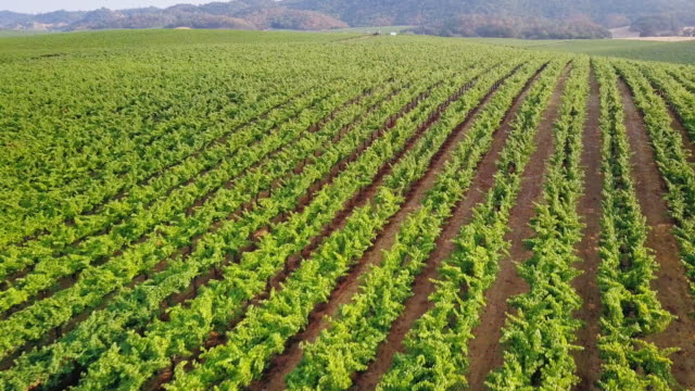 Drone Shot of Northern California Vineyards video
