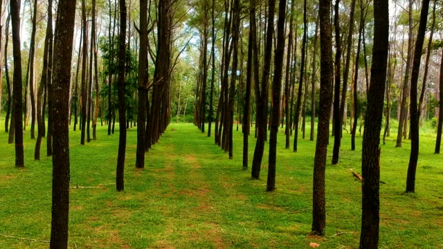 drone shot of pine tree move forward - molla video stock e b–roll