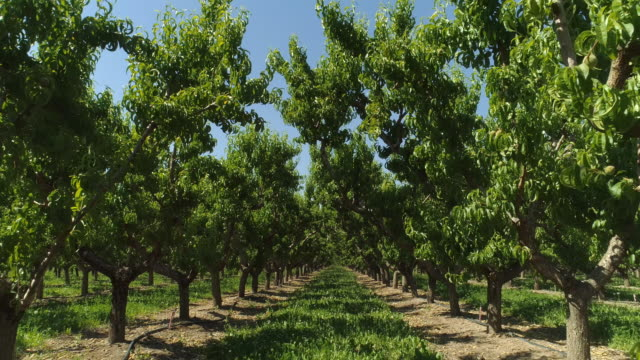 A Drone Shot of Rows of Mature Peach Trees in an Orchard on a Sunny Day in Palisade, Colorado