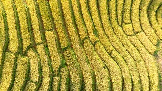 Drone shot top view rice terraces in Thailand. 4K Drone shot top view over rice terraces in Chiang Mai-Thailand. rice cereal plant stock videos & royalty-free footage