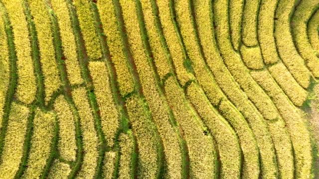 drone sköt ovanifrån risterrasser i thailand. - ris spannmålsväxt bildbanksvideor och videomaterial från bakom kulisserna