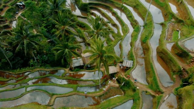 4k drone top view of rice terraces in tegallalang ubud bali - taras ryżowy filmów i materiałów b-roll