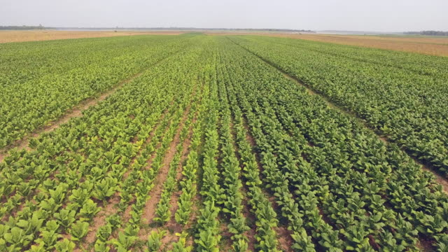 drone view : low fly over tobacco fields - nicotina video stock e b–roll