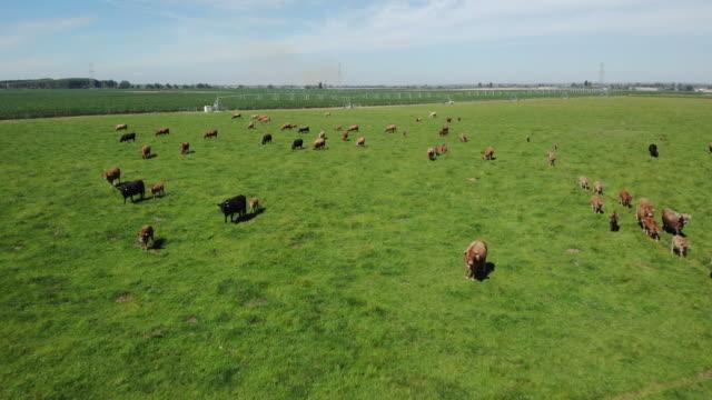 農場国スペインの牛牛家畜のドローンビュー - 牧畜場点の映像素材/bロール