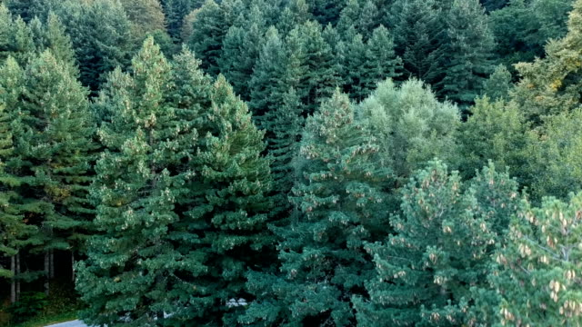 Drone view of pine forest