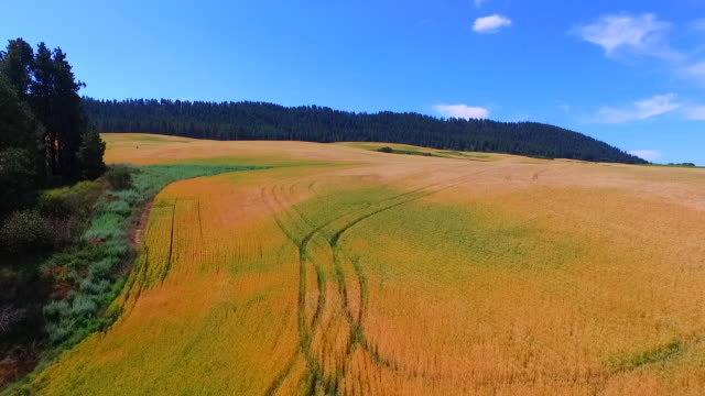 a drones aerial shot slowly descending into a large wheat field in palouse, usa - orzo video stock e b–roll