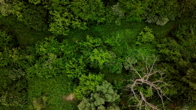 drone's eye view - 4k aerial top down view of woodland mysterious landscapes - pinaceae filmów i materiałów b-roll