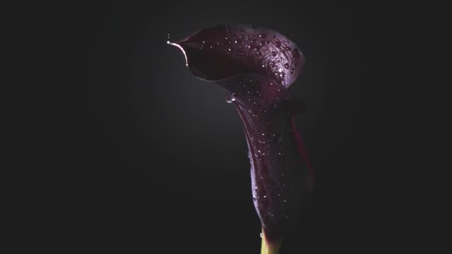 A drop of dew flows down the flower petal of a calla lilly maroon color on a black background. Slow motion, Full HD video, 240fps, 1080p.