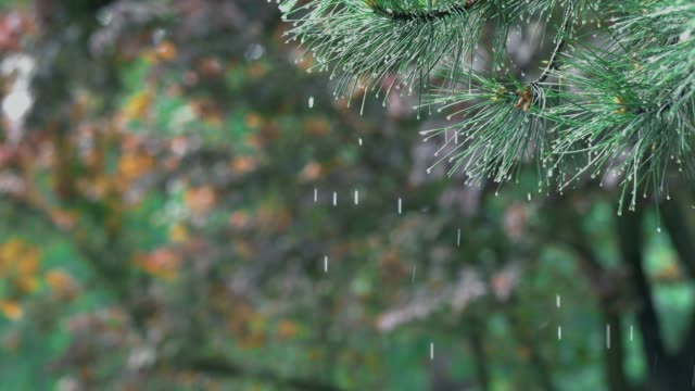 Drops falling from pine branches close up