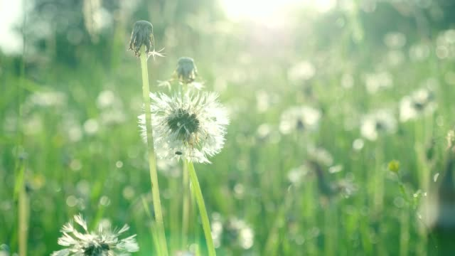 Drops of pure natural dew on green grass and old dandelions in  early morning - video